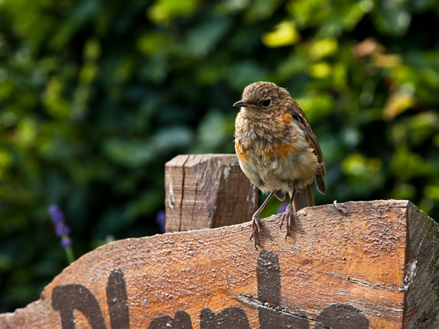 Baby-Robin-on-sign