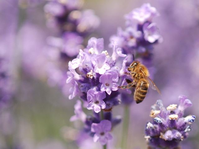Bee-in-Lavender