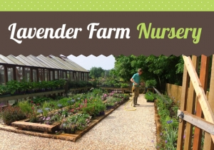 Click here  for Lavender Farm Nursery
